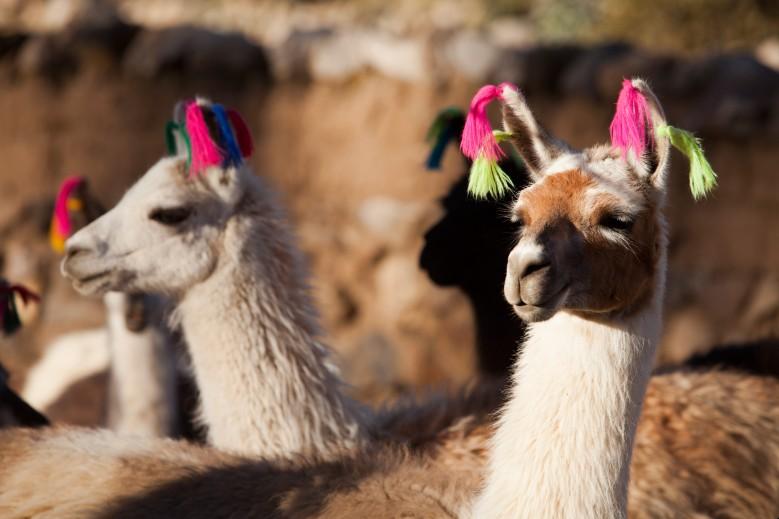 Lhamas no carnaval de Machu Picchu